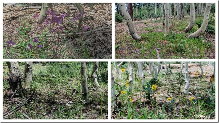 28 hdrlewr wildflowers aspen Kaibab NF AZ g collage (1024x576)