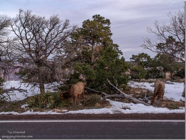 Elk along Hermit Road South Rim Grand Canyon National Park Arizona