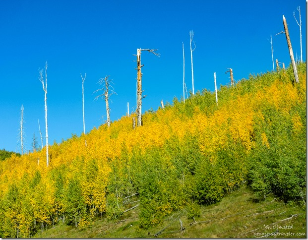 yellow & green aspen 2000 Outlet burn along Cape Royal Road North Rim Grand Canyon National Park Arizona