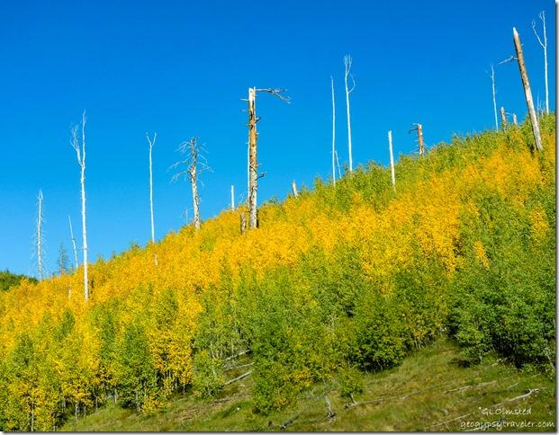 yellow & green aspen 2000 Outlet burn along Cape Royal Road North Rim Grand Canyon National Park Arizona