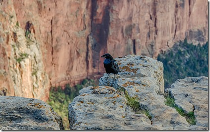 Raven Cape Royal Wedding Site North Rim Grand Canyon National Park Arizona
