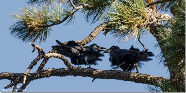Ravens Vista Encantada Cape Royal Road North Rim Grand Canyon National Park Arizona