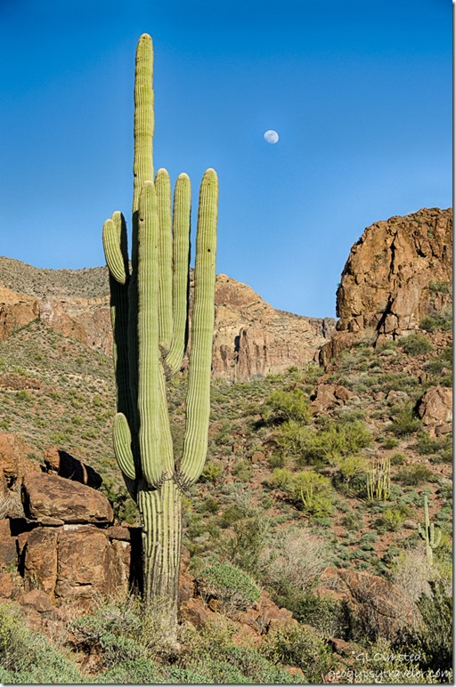 Saguaro moon Organ Pipe Cactus National Monument Arizona