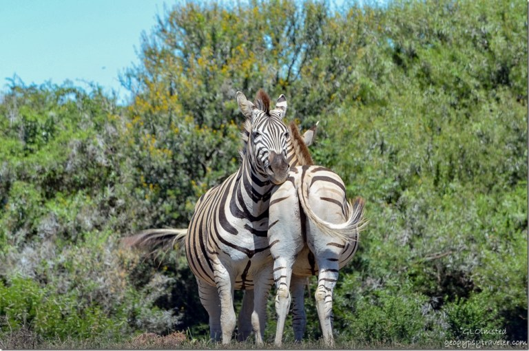 Zebras from underground birdhide Addo Elephant National Park South Africa