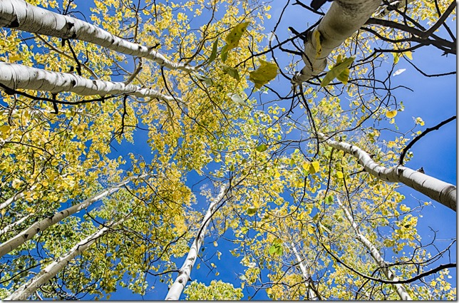 looking up fall aspen FR462 Kaibab National Forest Arizona