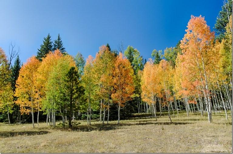 fall aspen SR67 Kaibab National Forest Arizona