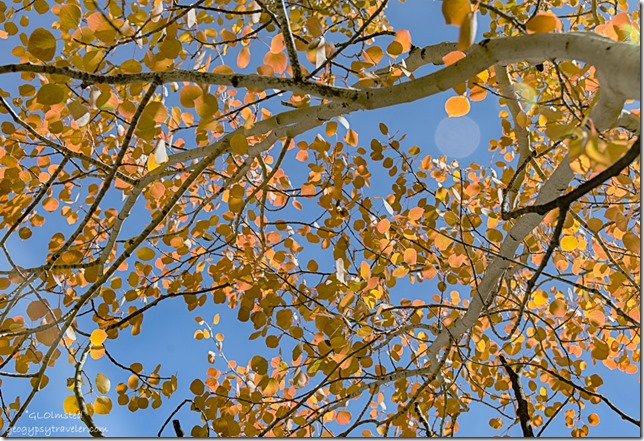 looking up fall aspen SR67 Kaibab National Forest Arizona