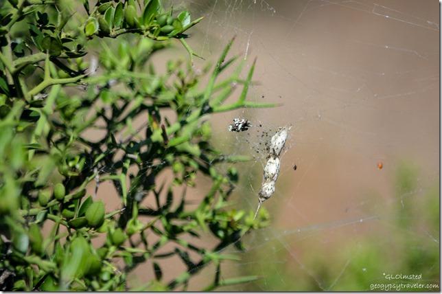 Spider egg sac Addo Elephant National Park South Africa