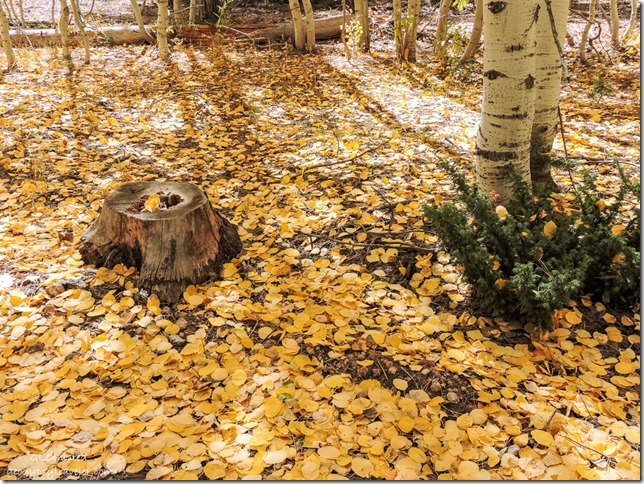 fall leaves on ground FR219 Kaibab National Forest Arizona