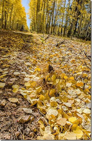 aspen leaves on ground FR219 Kaibab National Forest Arizona