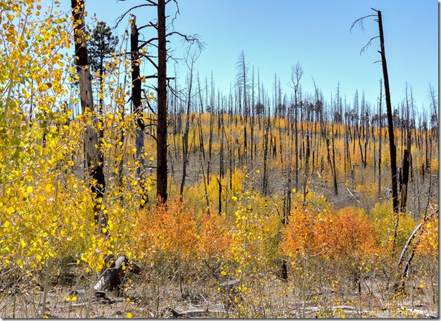 fall aspen 2006 Warm Fire FR212 Kaibab National Forest Arizona