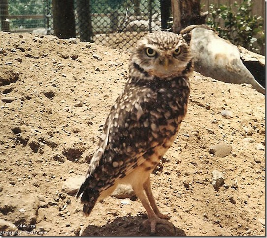 Wilbur burrowing owl California Living Museum Bakersfield California