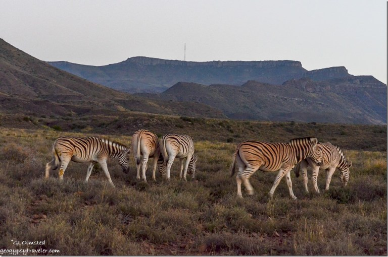 Burchell's zebras Karoo National Park South Africa