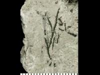 Dendrograptus sp., GIT 539-48-2
