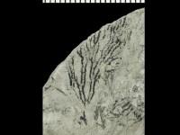 Dendrograptus sp., GIT 539-48-3