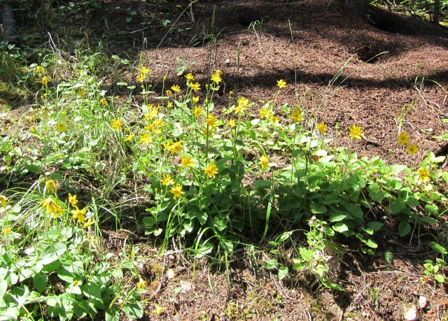 Yellow petals of heart-leaved arnica flowers in full bloom along the Highline Trail