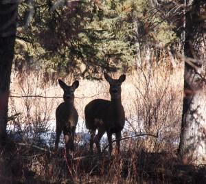 Deer in shadows