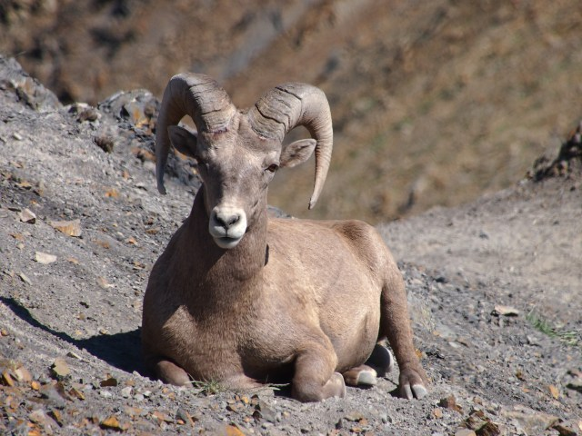 This is one of two bighorn sheep that seemd to be on guard duty between us and the herd