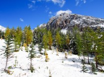 Mount Arethusa serves as a dramatic background for this group of larch trees in the early stages of changing from dark green to gold.