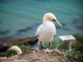 Cape-Kidnappers-Gannets