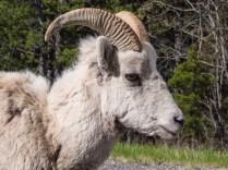 Rocky-Mountain-Bighorn-Sheep