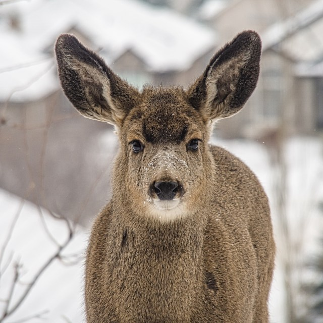 Rocky-Mountain-Mule-Deer