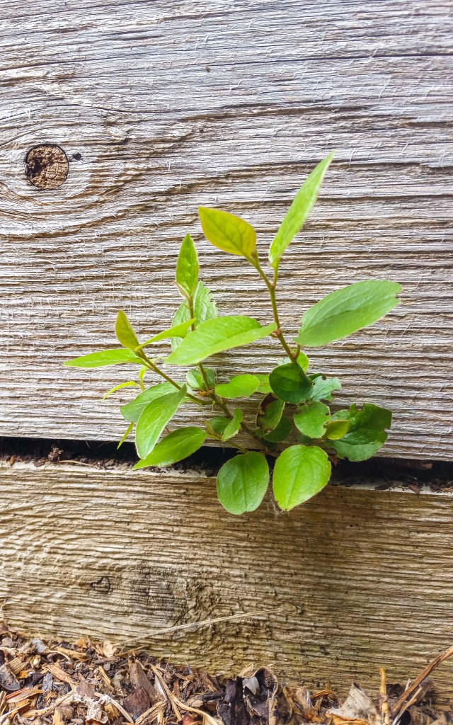 Shrub growing from side of planter box