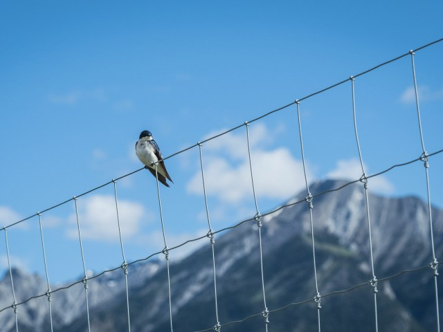swallow-on-fence