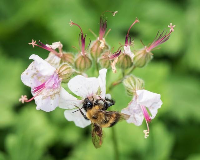 bee-geranium