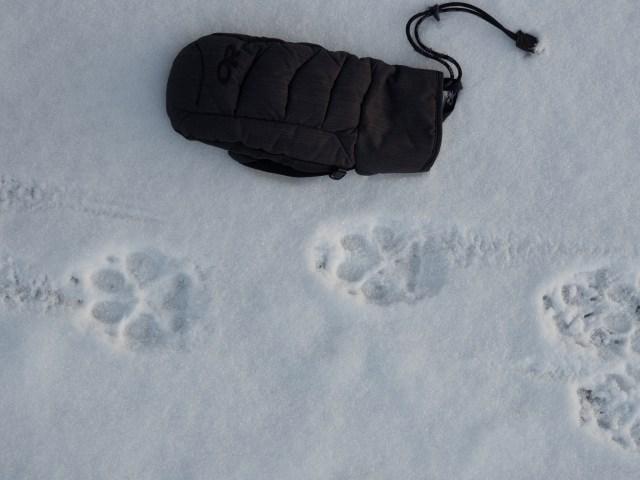 wolf-tracks