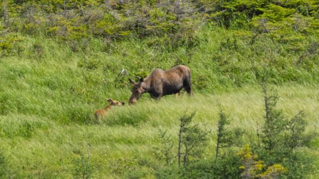 moose-and-calf