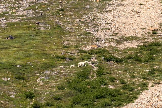 polar-bear-two-cubs