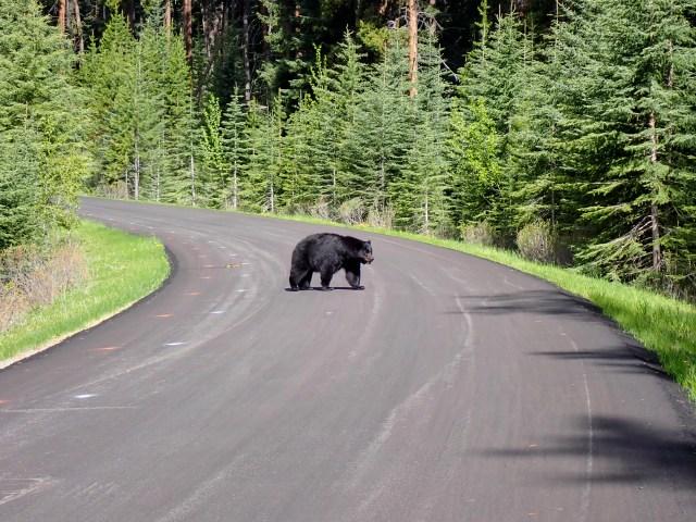 black-bear-1A-westbound