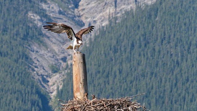 osprey and chick