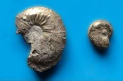 Ammonites found in Geolabs Soil Department
