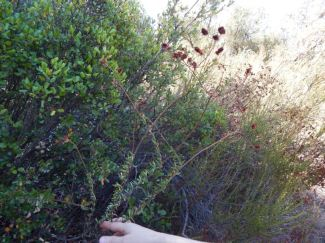 One of the plants along the El Cariso Trail. Photo by Laylita Day.