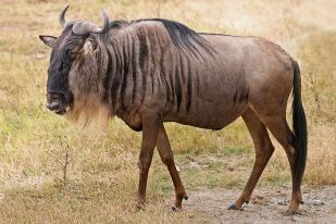 A blue wildebeest. Image from Wikipedia.org.