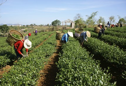 Harvesting green tea. Image from Google Images.