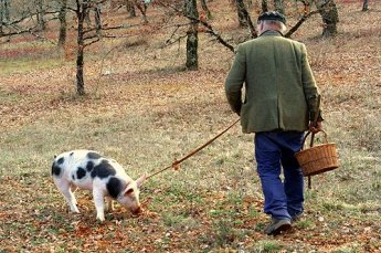 Man using a pig to find truffles. Image from Google Images.