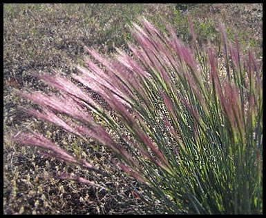 Purple Needle Grass. Image from Google Images.