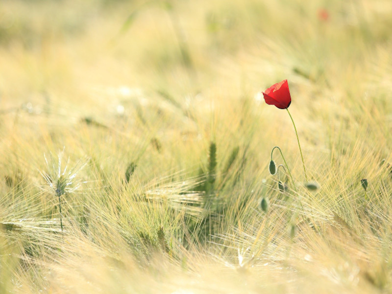 Campo spighe di orzo un papavero rosso
