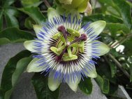 geometry passionflower