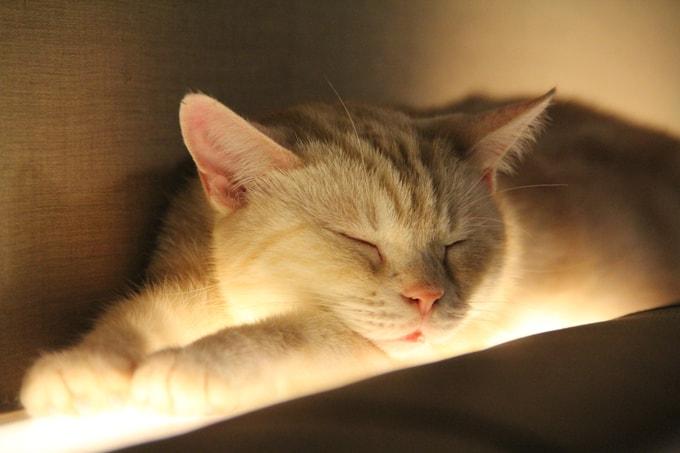 Chat endormi sur le dossier d'un canapé dans le bar à chat à Tokyo