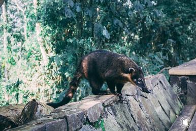 Un coatie à Iguazu, Argentine