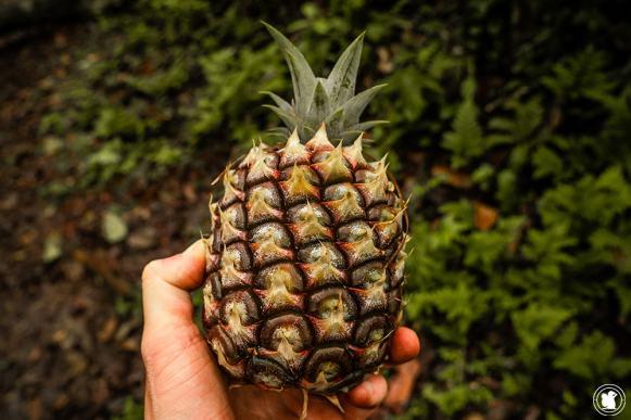 Manger un ananas frais dans la forêt, rien de plus plaisant !