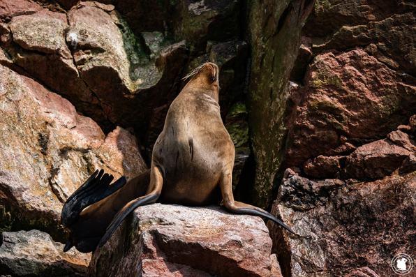 Lions de mer de la réserve Naturelle des îles Ballestas à Paracas