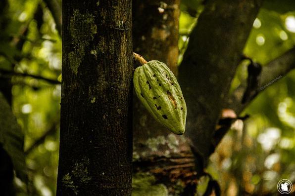 Jeune cacao dans la forêt amazonienne