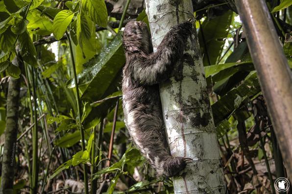 Un paresseux dans la forêt amazonienne