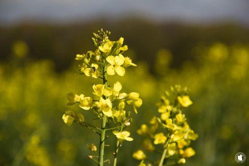 Les belles fleurs de colza en Vallée de Chevreuse