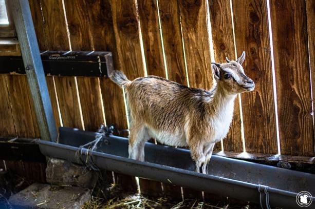 Chèvre au gîte Santa Klara à Zumaia - blogtrip Nekatur